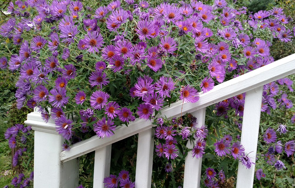 Wild asters, Rockhaven B&B, harpers ferry